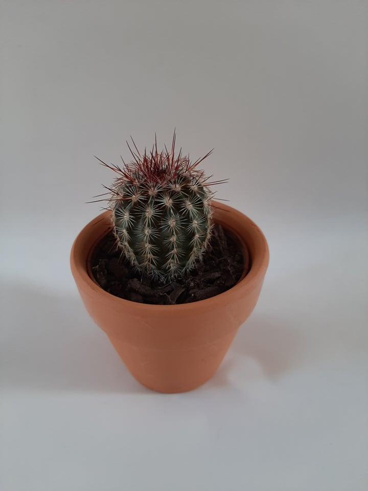 Single Cactus